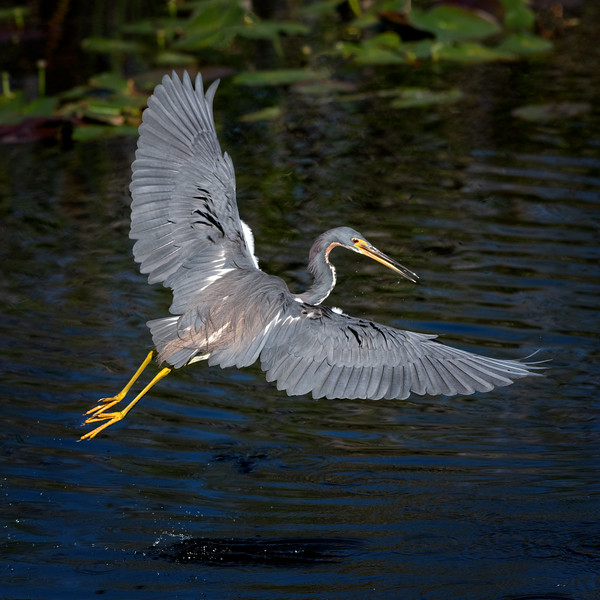 Tricolored heron in flight