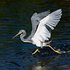 Walking on Water with a fish: Tricolored heron