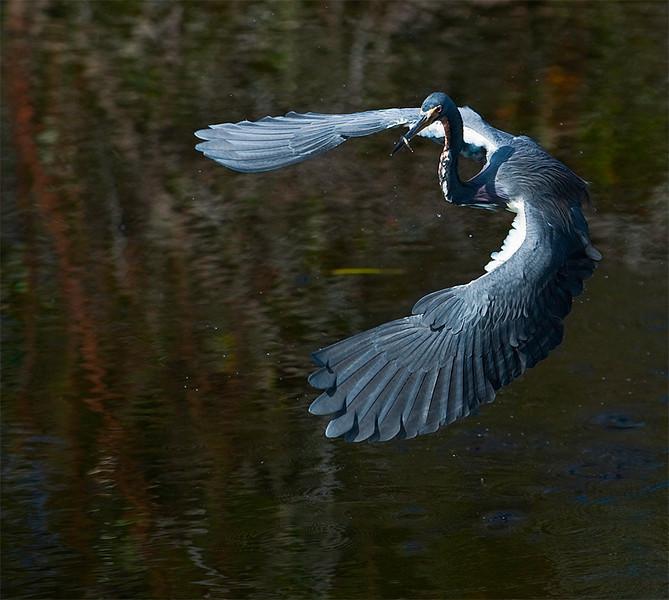 Tricolor Heron<br /> Shark Valley<br /> Everglades National Park