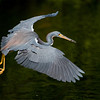 Tricolor Heron<br /> Shark Valley<br /> Everglades National Park