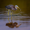 tricolored heron with fish<br /> Eco Pond<br /> Everglades National Park, Florida