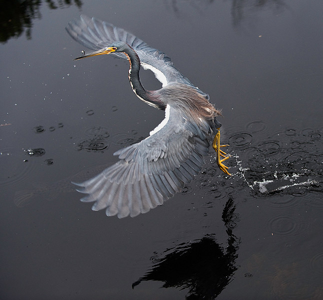 Tricolored heron in flight with fish