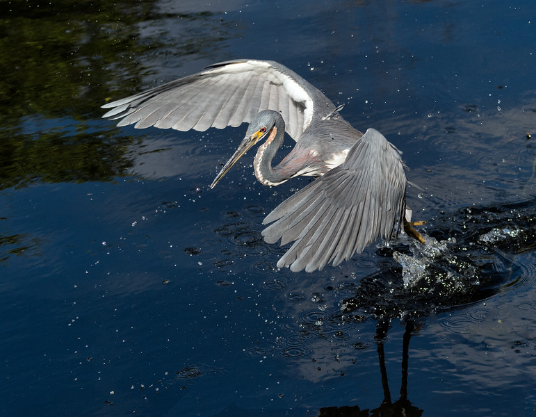 Tricolored heron fishing