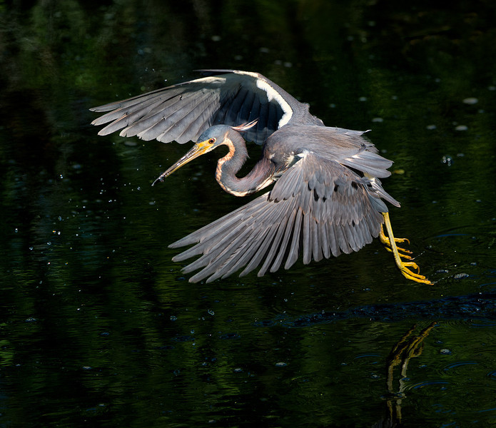 Tricolor Heron in flight with fish