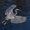 Triclorored heron in flight while fishing