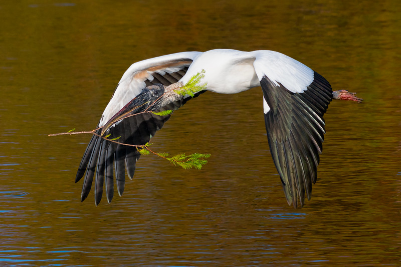 Wood stork in flight with nesting materials