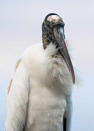 A well-coiffed Wood Stork in early morning light