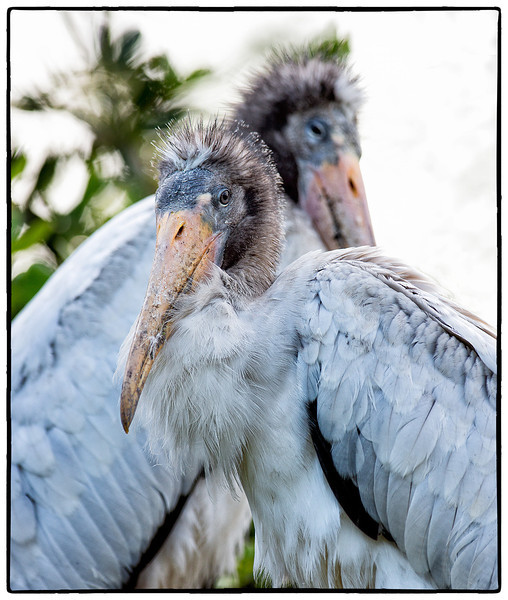 Young wood storks