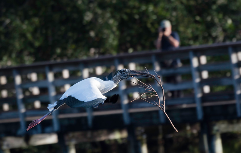 Photographer appreciating wood stork with nesting material