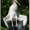 Juvenile Wood Stork presenting