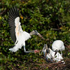 Wood Stork to friends: let's build us a nest!