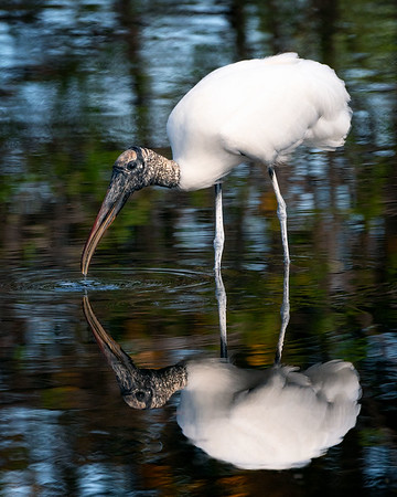 Wood stork taking a drink