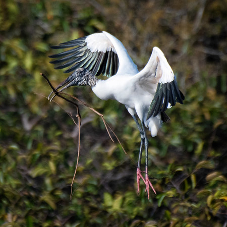 Wood Stork with large stick in parallel with its legs!