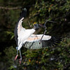 Wood stork with TWO DIFFERENT STICKS!!!!