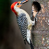 Male Red-Bellied Woodpeckers bringing pupa his chick