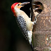 Male red-bellied woodpecker feeding some protein to its chick