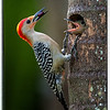 Male Red-Bellied Woodpecker bringing berry to his chick