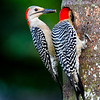 Female Red-Bellied Woodpecker waits with anole tail while male feeds worms to their chick