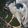 Yellow crowned night heron<br /> Shark Valley<br /> Everglades National Park