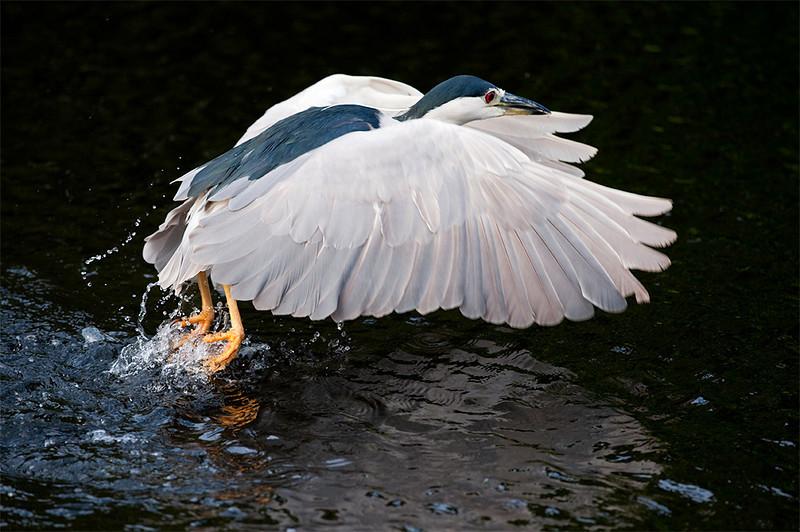 Black-Crowned night heron<br /> Shark Valley<br /> Everglades National Park