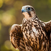This is an image of a Falcon in early morning light shinning in the background taken in North Carolina, USA.