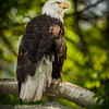 No other symbol shows freedom more appropriately than the Bald Eagle. The intense eyes represent strength and courage.