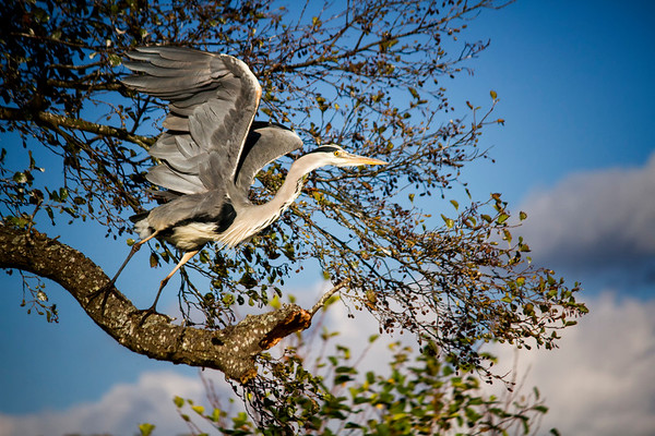 Grey Heron taking flight - From the series 'Fly me to the Moon...'