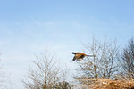 Pheasant in flight From the series 'Fly me to the Moon...'
