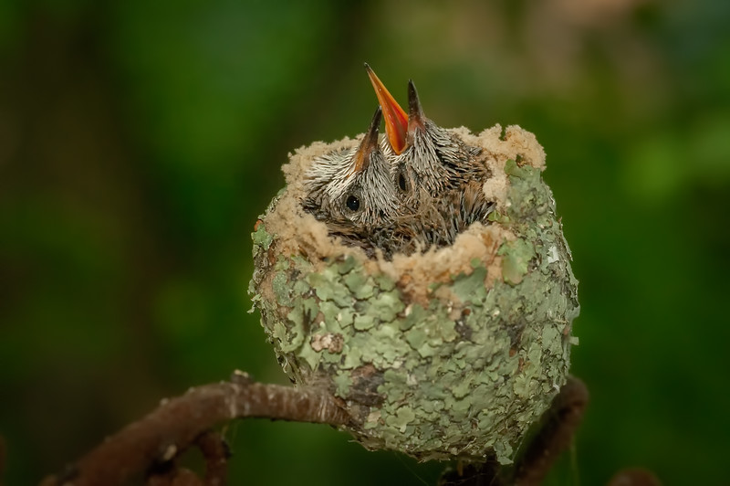 Baby Hummers