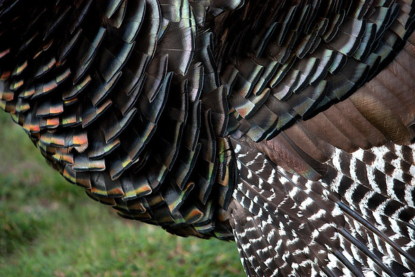 Bronze Turkey Feathers - From the series 'Fly me to the Moon...'