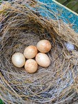 Robins nest with five eggs