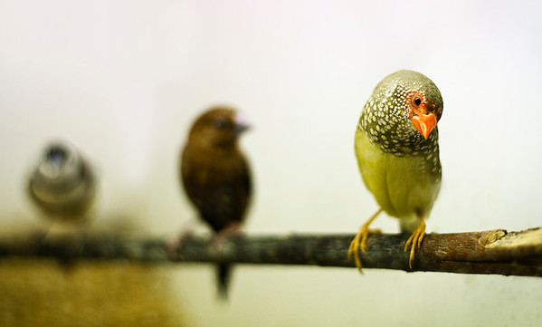 Star Finch - From the series 'Fly me to the Moon...'