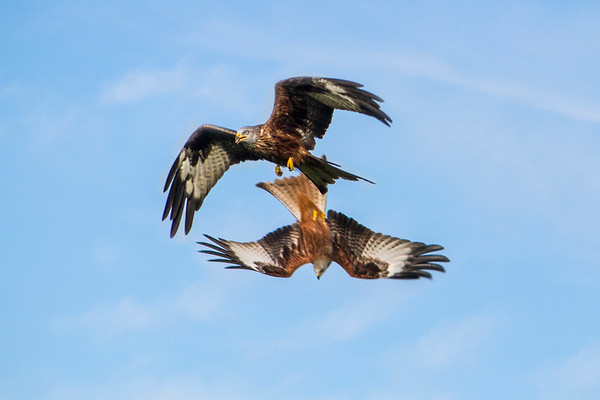 Two Tumbling Red Kites
