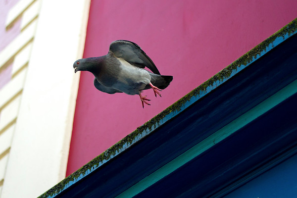 Pigeon taking flight From the series 'Fly me to the Moon...'
