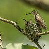 Mother hummingbird takes care of baby hummingbirds in a lichen nest on a tree branch.
