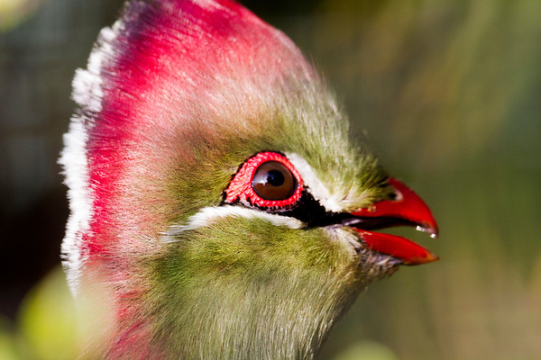Fischer's Turaco - From the series 'Fly me to the Moon...'