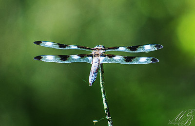 Twelve-Spotted Skimmer Dragonfly