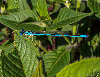 Double-striped Bluet Damselfly