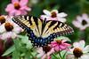 Pretty Butterfly on Zinnias