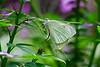 Butterflies Mating