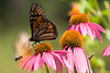Monarch Butterfly and a Bumble Bee