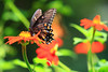 Black Swallowtail on Orange Mexican Sunflower