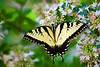 Swallowtail on Abelia