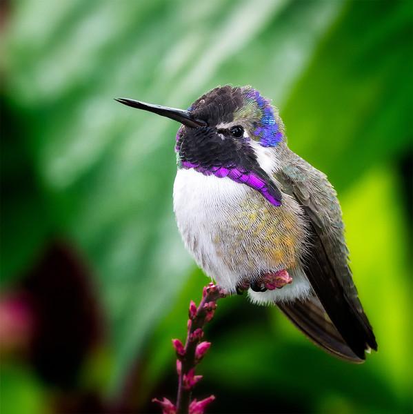 Costa's Hummingbird<br /> Wings of the Tropics