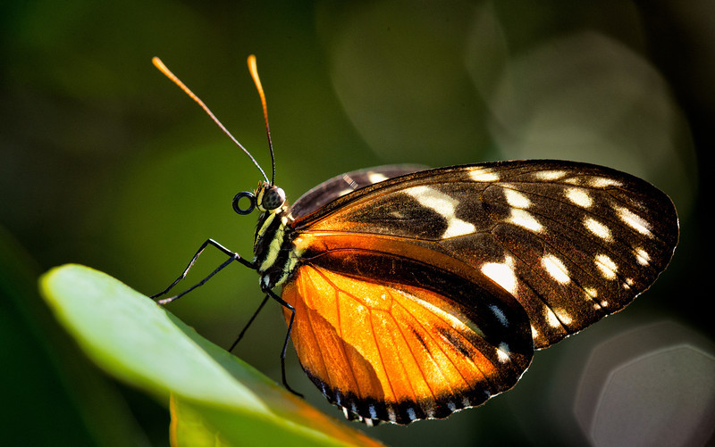 Longwing, Hecale Heliconius hecale