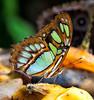 Malachite Butterfly<br /> Siproeta stelenes