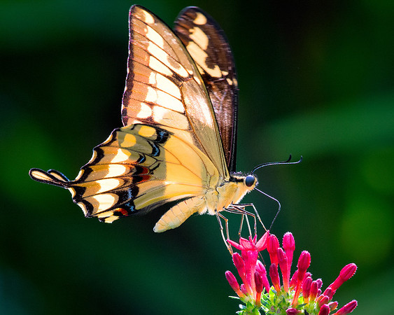 Thoas  swallowtail  butterfly in flight, feeding on pentas lanceolata.