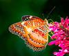 Red Lacewing Butterfly feeding on Fire Spike Flower