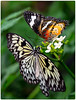 Black and white Idea Leuconoe on left<br /> Red Lacewing Butterfly on the right