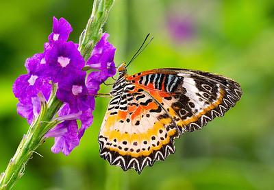 "Leopard Lacewing Butterfly ""Cethosia-cyane"" feeding on Blue Porterweed"